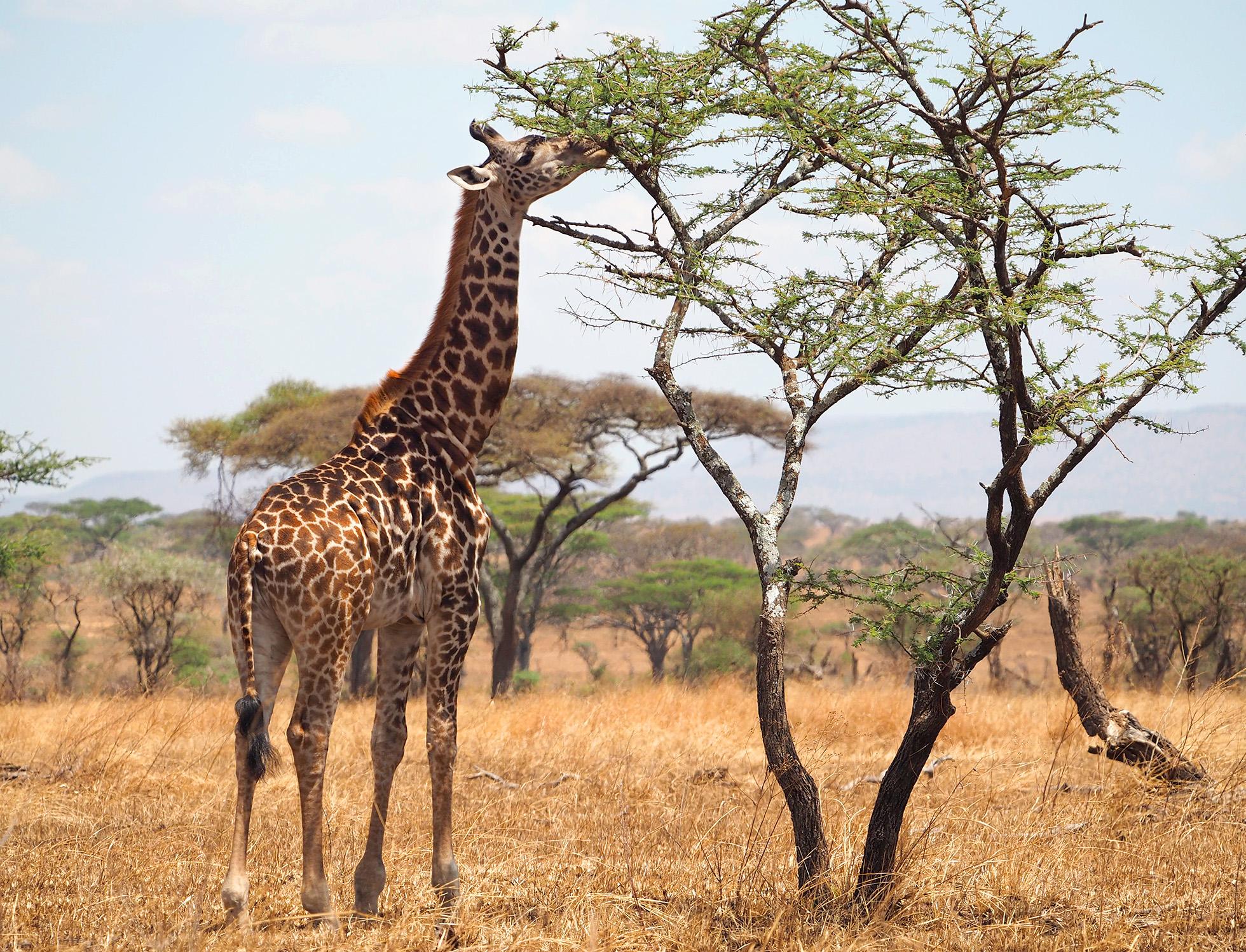 The Masai giraffe (Giraffa tippelskirchi), also called Kilimanjaro giraffe, is the largest species of giraffe and the tallest land mammal.