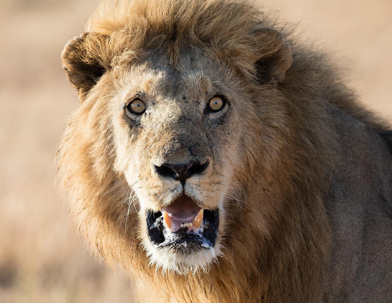 solveig-lion