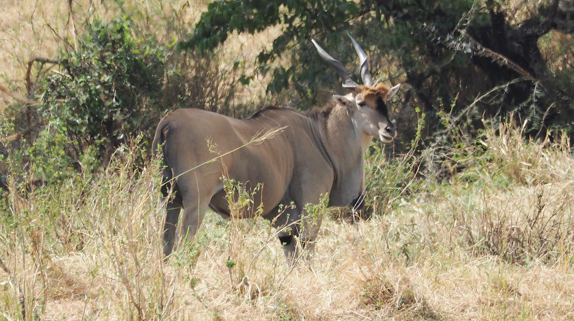 The eland is the second largest antelope in the world, slightly smaller on average than the giant eland, and now an endangered species.