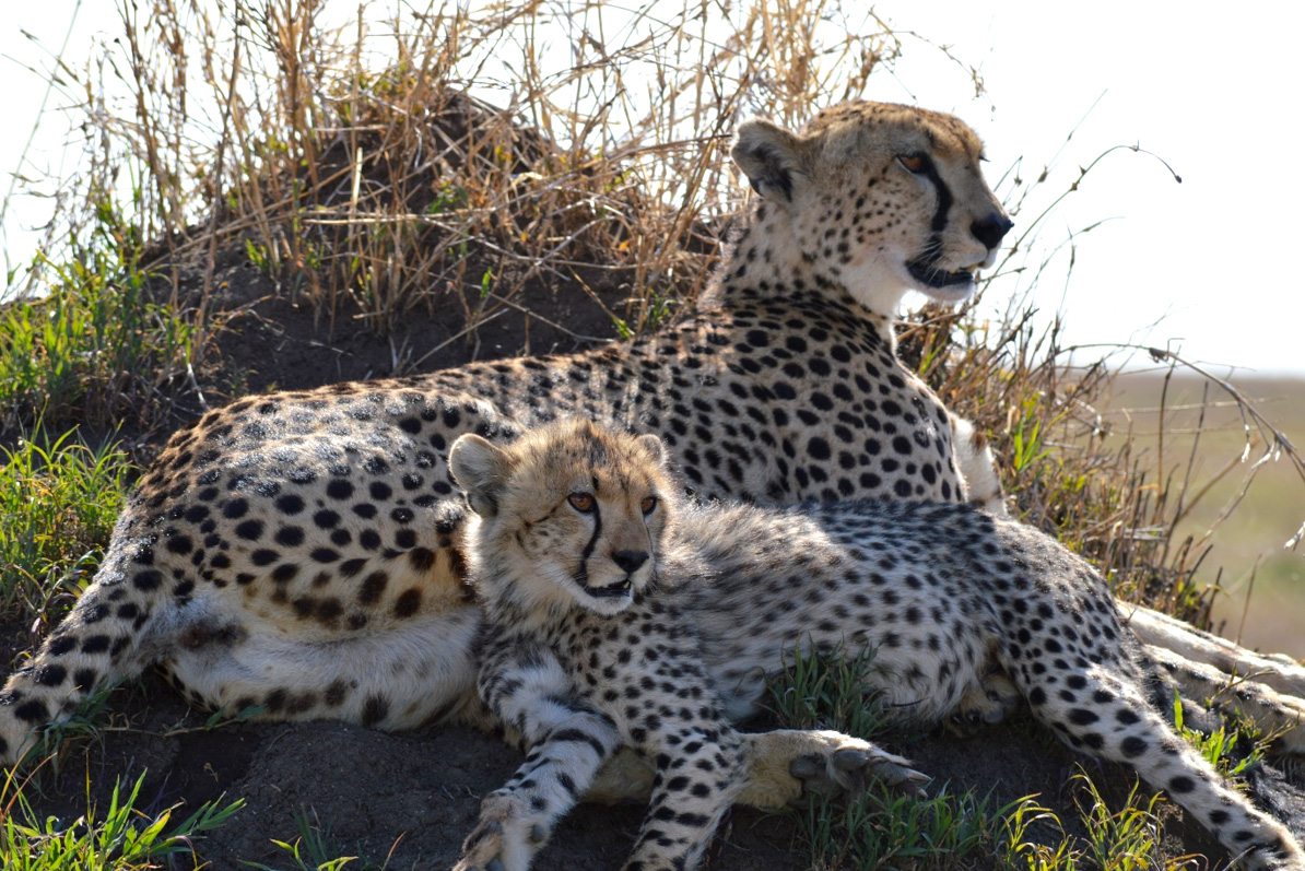 A good spot on cheetah after our experiment at Serengeti National Park (SNP). Photo: Franco Mbise