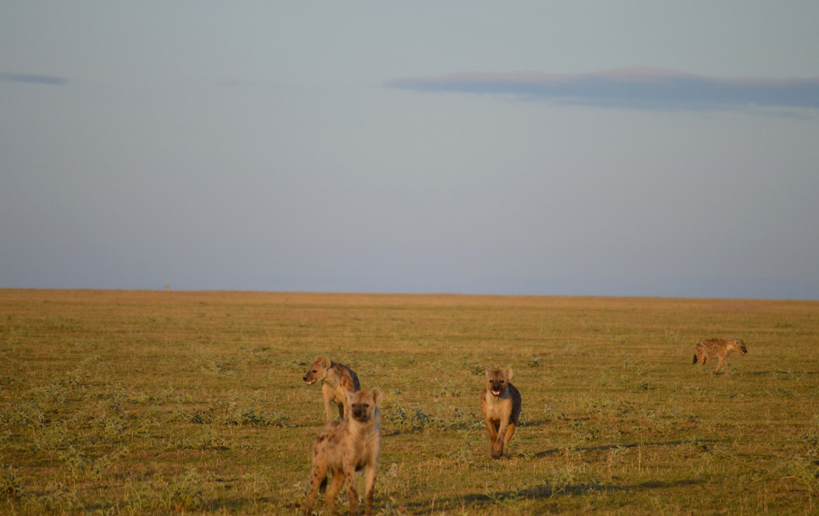 Hyenas running toward us while doing our playbacks. Photo: Franco Mbise