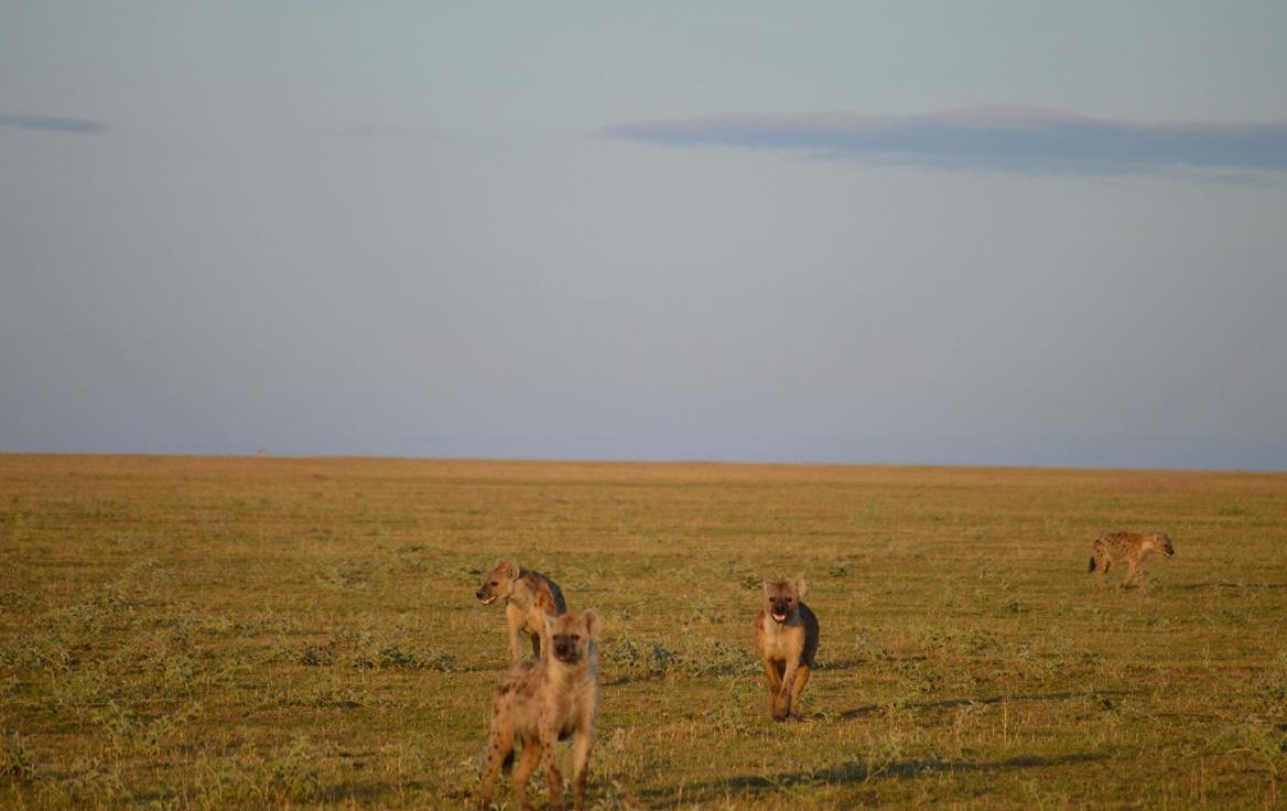 Hyenas running toward us while doing our playbacks. Photo: Franco Mbise