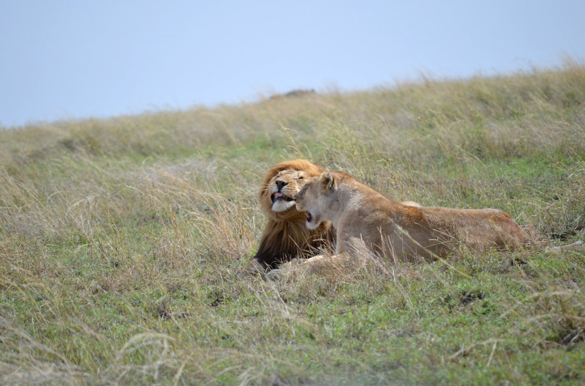 Simba (Lions) after playbacks at SNP. Photo: Franco Mbise