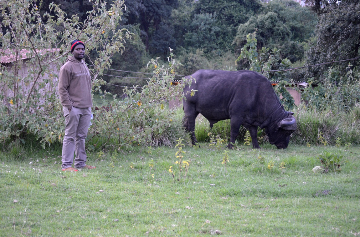 Me and my friend (buffalo): Looks scary but this buffalo normally graze around staff village at Ngorongoro Conservation Area (NCA). Photo: Jacob Juda