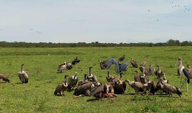 Vulture enjoying a carcass. Photo: Juma Mkwizu