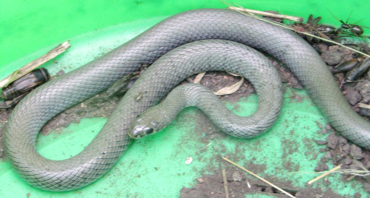 Naja nigricollis snake found in the bucket pitfall at Makao grazing land Photo; Monica Shilereyo, 2016