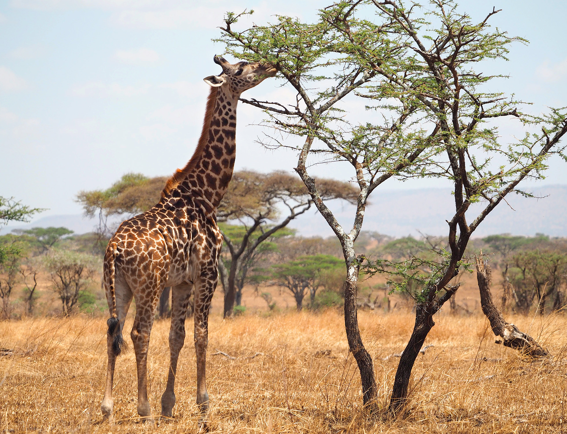 The Masai giraffe (Giraffa tippelskirchi), also called Kilimanjaro giraffe, is the largest species of giraffe and the tallest land mammal.