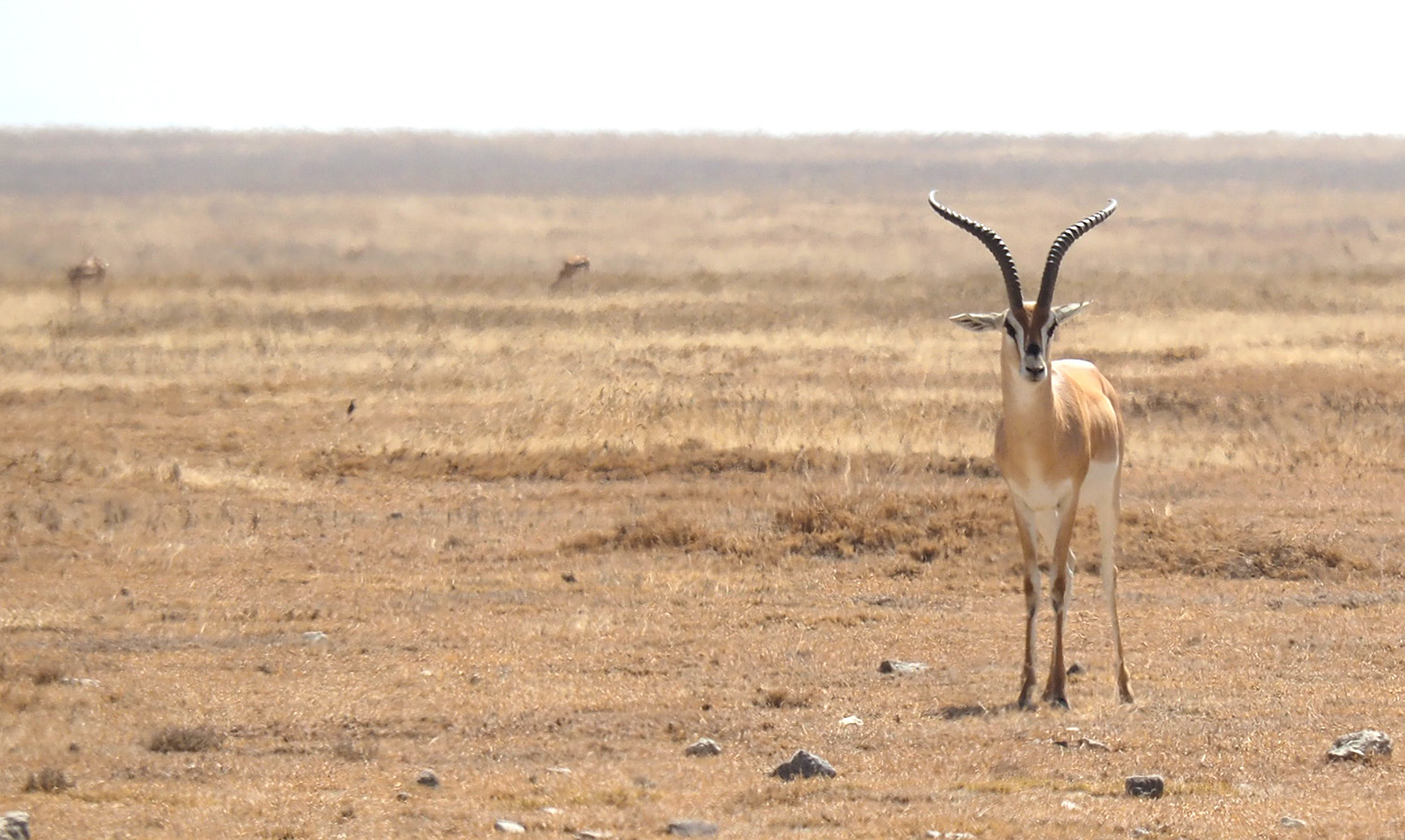 The Thomson's gazelle is one of the species with most rapid decline in Kenya.