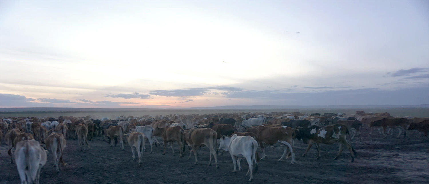 livestock heading towards the Maasai Mara national park to graze at night on the road between Marariantta and Talek villages, Kenya
