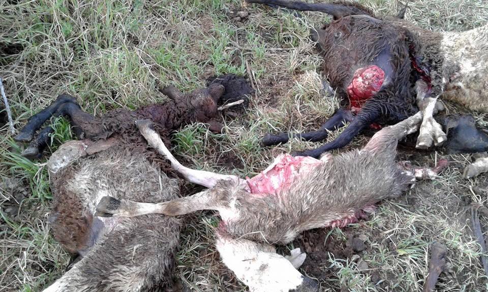 Sheep kills by hyenas' at Ololosokwan village. Photo: Emanuel