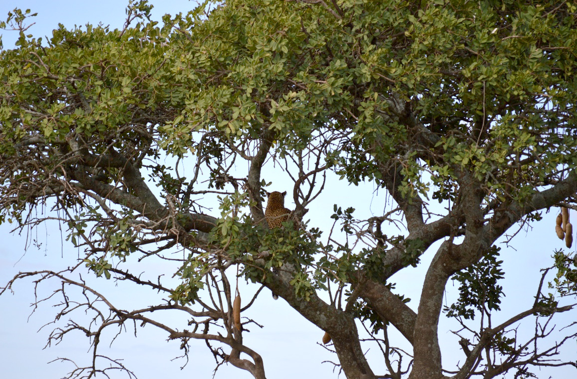 Leopard on the sausage tree: Photo: Franco Mbise