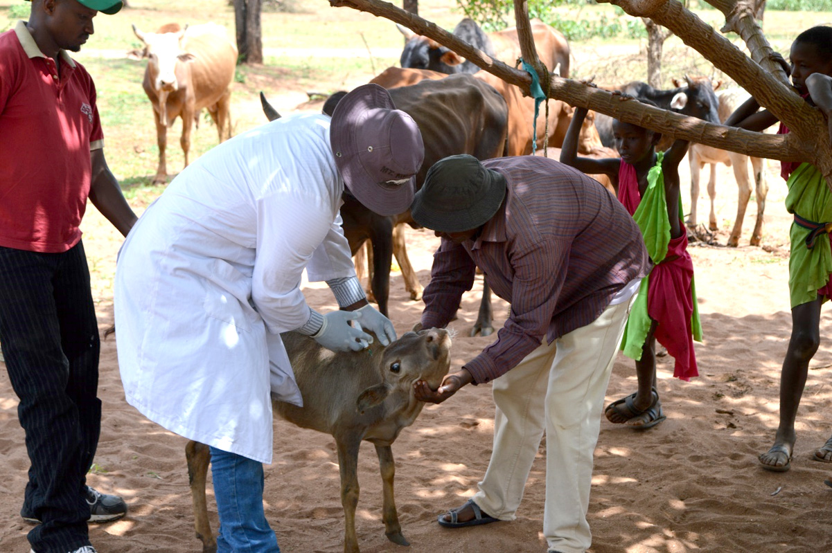 Conservation incentives: Administering chemoprophylaxis to the livestock adjacent to the park. Photo: Franco Mbise