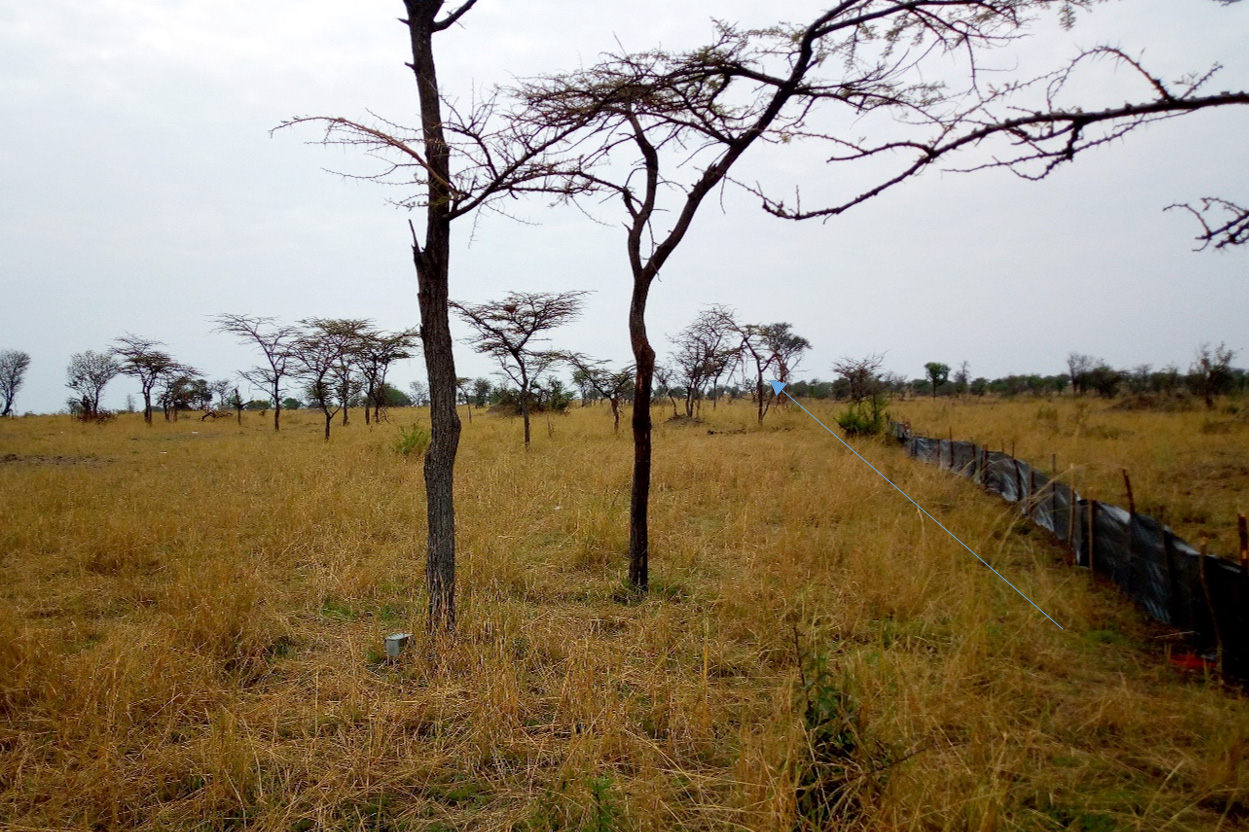 Pitfall traps in the wooded grassland of the Serengeti National Park Photo; Monica Shilereyo, 2017