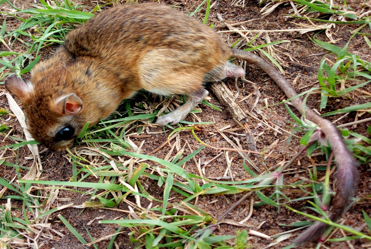 Male Gerbil spp trapped at Mbilikiri village (shrubland near agro land), Photo; Monica 2017