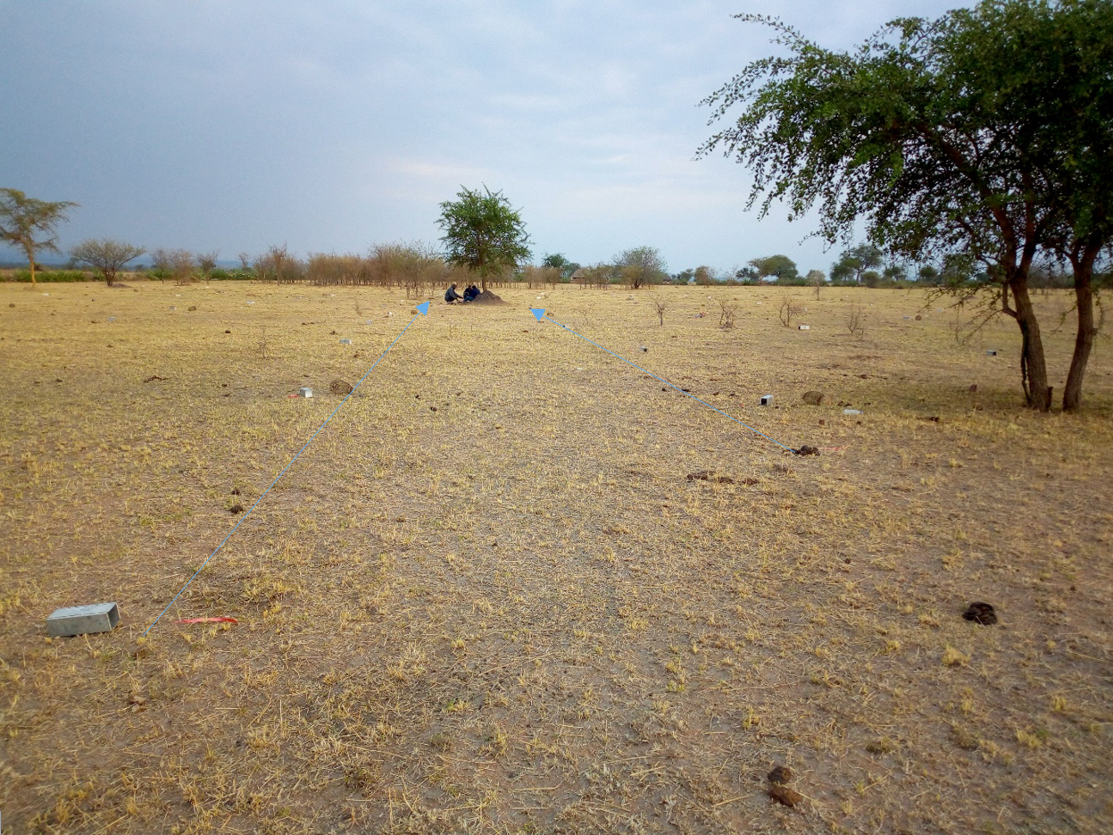 Traps arranged in the plot of 100m*100m at Iharara wooded grassland (Musoma District) (dry season), Photo; Monica Shilereyo, 2017.