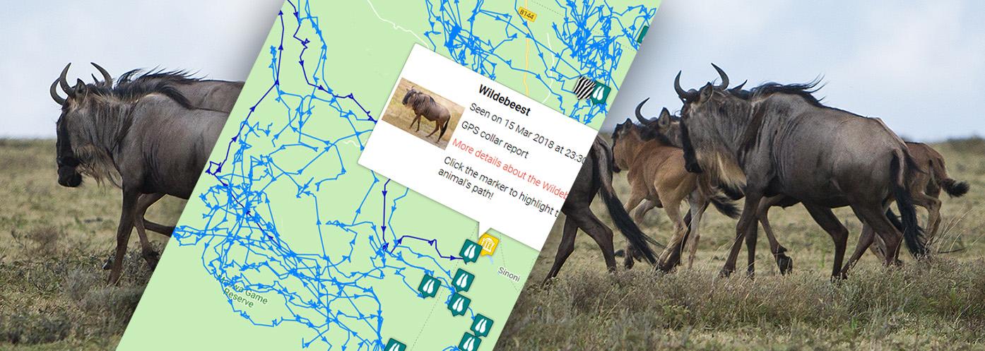 wildebeest-tracker-sighting