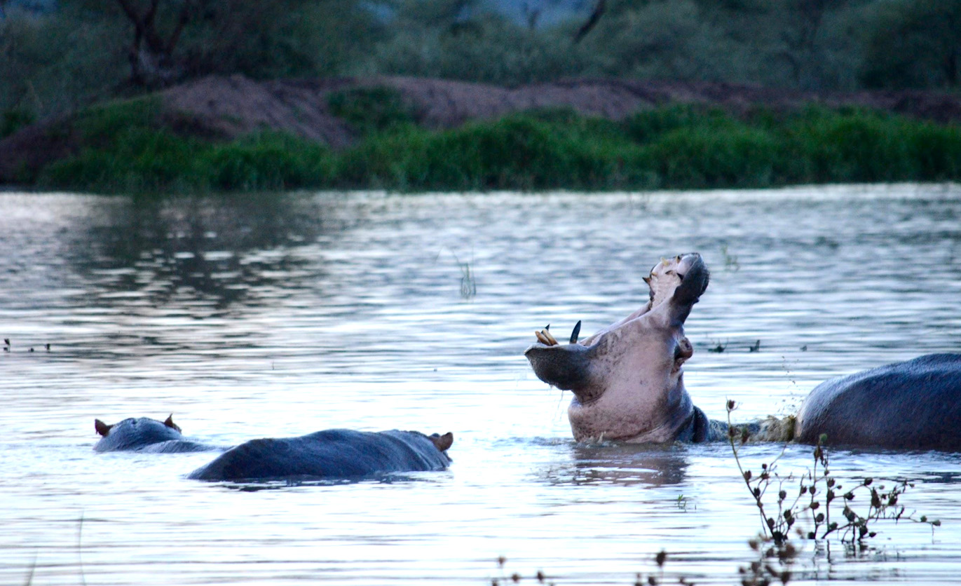 Visit to a hippo pool. Accumulated water had created a temporary lake after a rainfall event.