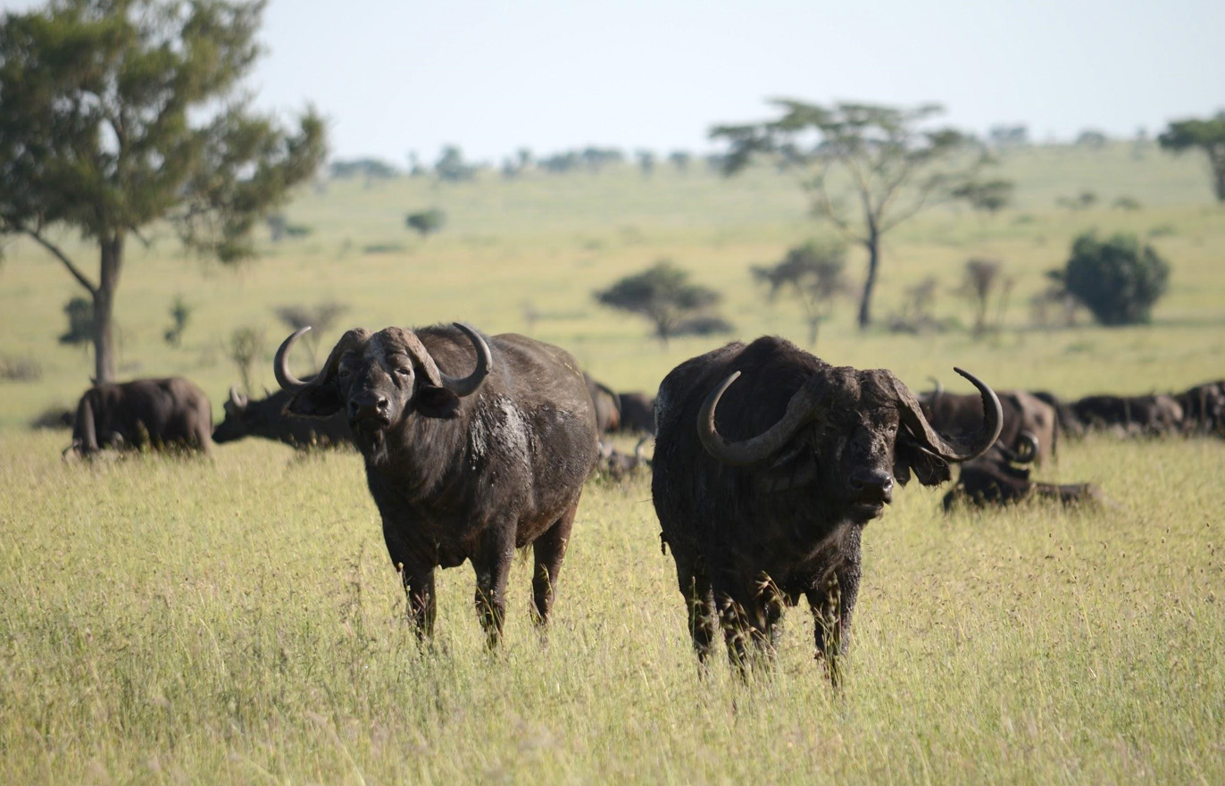 Buffalos around the plots from time to time. Not possible to work then.