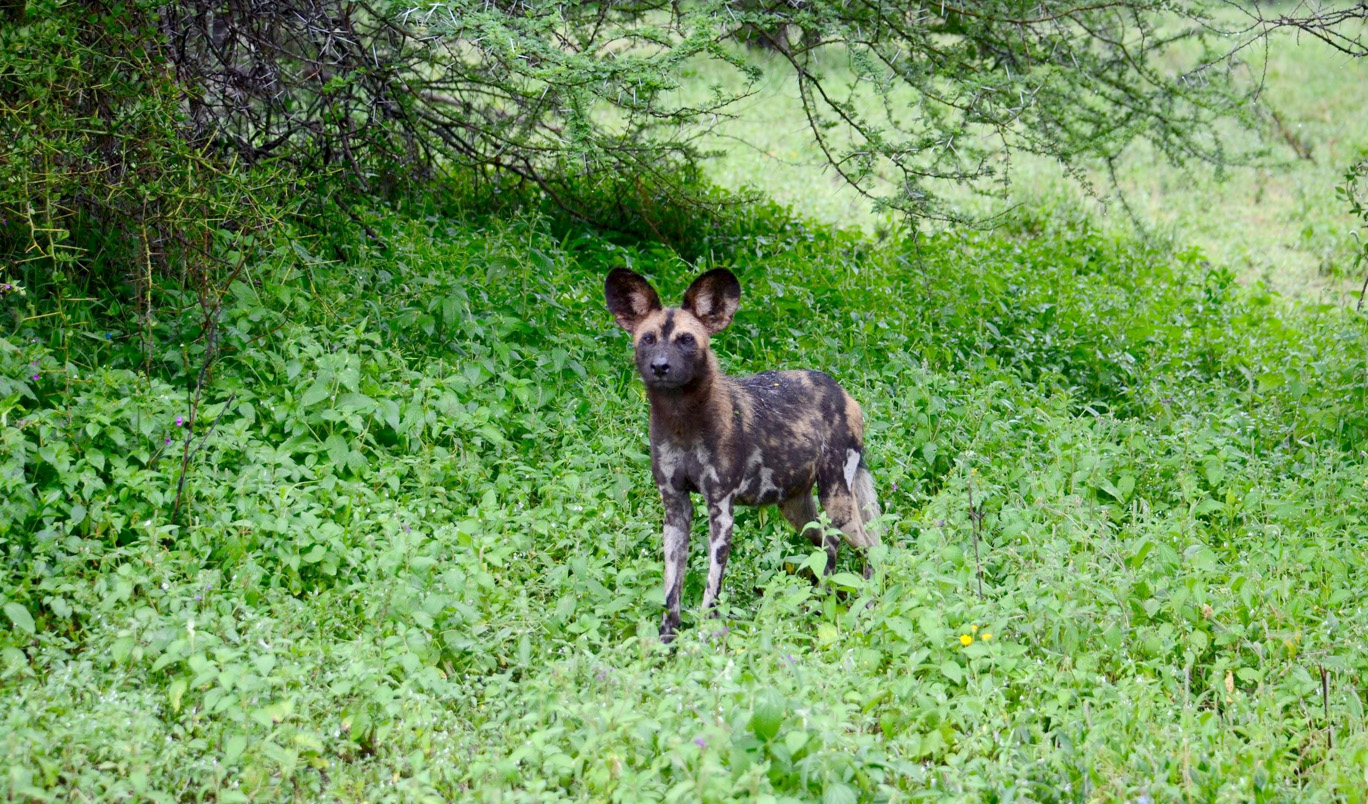 We even got to see a pack of the rare wild dogs!