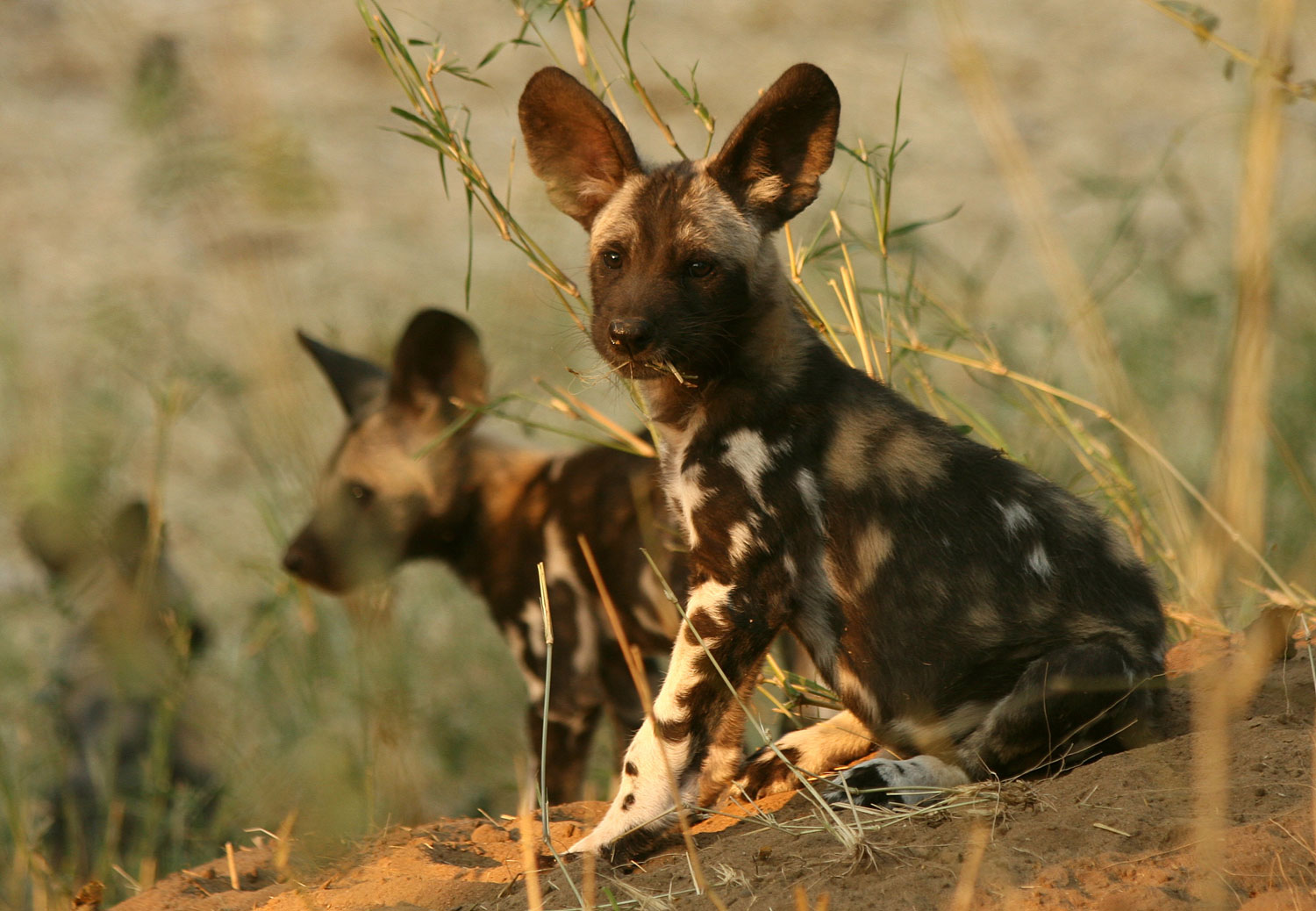 African wild dog pups. Photo.