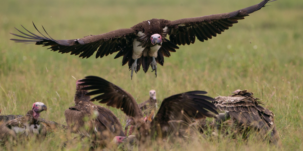Lappet-faced vultures. Photo.