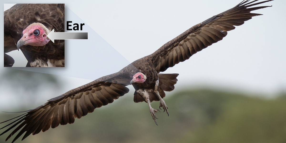 Hooded vulture. Photo.