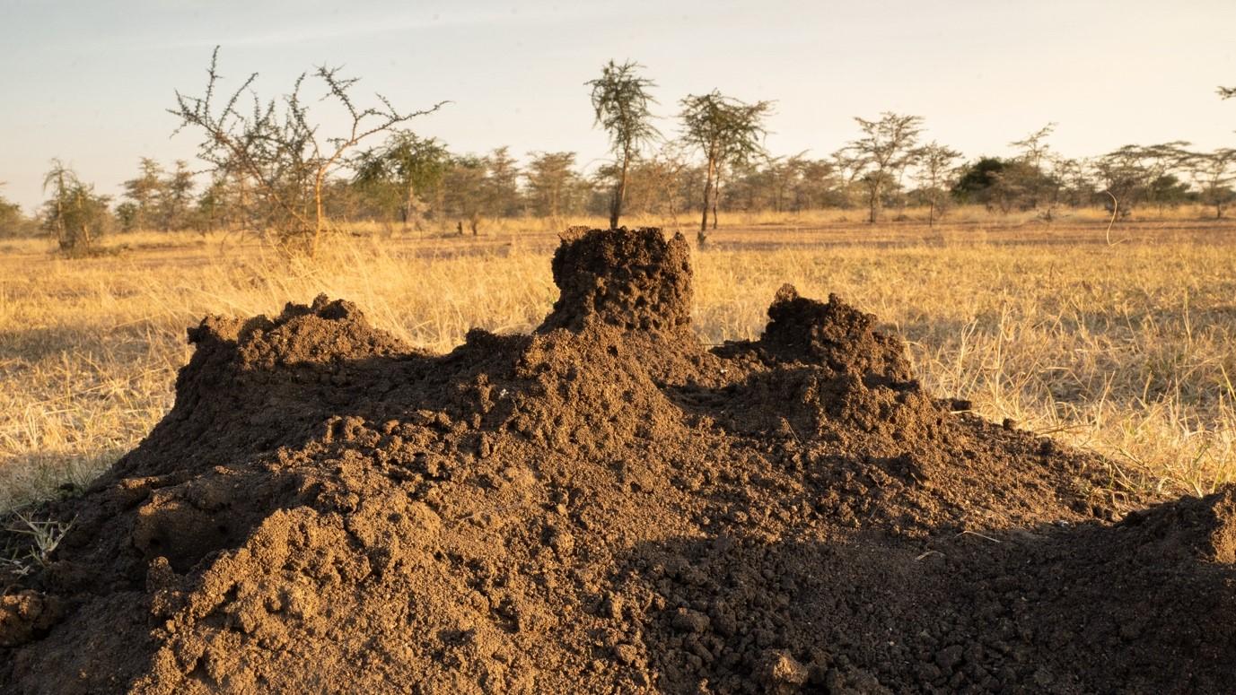 Termite nests. Photo