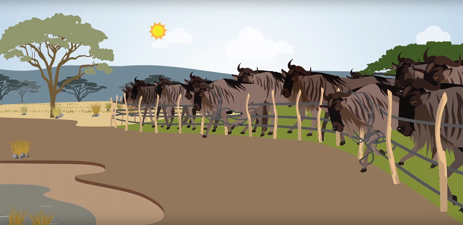 Animation on wildebeests in front of fencing